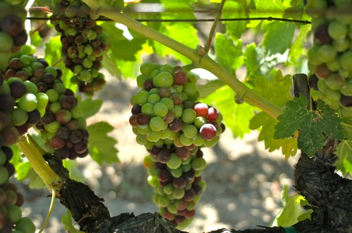 Napa Grapes